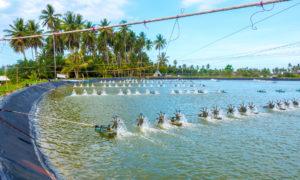 Infofish shrimp 2019: Breeding programs could reassert black